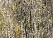 pic of lichenes  - Worn wood grain txture macro with lichen growing - JPG