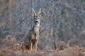 stock photo of roebuck  - Photo of roe deer with bush behind it - JPG