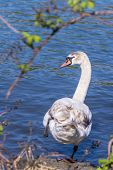 Female swan about to dive into the water of the Seine, Melun, France