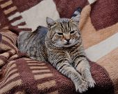 image of tame  - Tame wild cat lying on a blanket - JPG