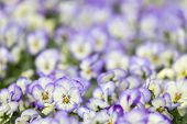 Field of violets with selective focus at one special flower