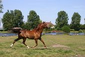 stock photo of arabian horse  - A portrait of a chestnut arabian horse - JPG
