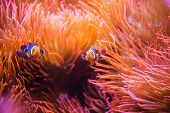 stock photo of coral reefs  - Coral Reef Clownfish Between Bubble Sea Anemone. Clownfish or Anemonefish. Coral Reef Life.