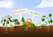 image of root vegetables  - Vegetable food garden poster of natural organic carrot pepper onion cucumber planted in the ground vector illustration - JPG