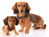 pic of wiener dog  - Longhair dachshund dog and puppy - JPG