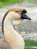 Portrait Of A Domestic Swan Goose poster