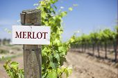 picture of merlot  - Merlot Sign On Post at the End of a Vineyard Row of Grapes - JPG