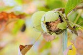 foto of walnut-tree  - ripe walnut  on a tree - JPG