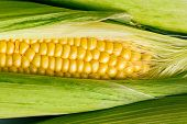 picture of corn  - the closeup of sweet corn - JPG