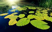 image of water lily  - Big water lily leafs on water surface  - JPG