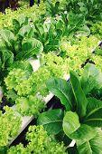 stock photo of hydroponics  - image of Hydroponics vegetable farm, Frillie Iceburg Lettuce ** Note: Shallow depth of field - JPG