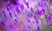pic of lavender plant  - Bee on Misty mauve lavender in Provence - JPG