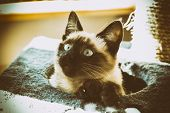 image of siamese  - Siamese cat coming out of his cat house - JPG
