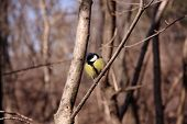 foto of great tit  - Great tit on a branch of a tree in the park - JPG