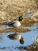 foto of male mallard  - A male Mallard is perched on a dirt clump and casts a relection in the water - JPG
