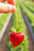 picture of strawberry plant  - Close up shot Hand pick a branch of strawberry with planting strawberry background - JPG