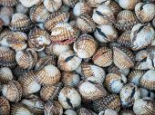 pic of clam  - Freshwater clams mix  of local food in Thailand - JPG