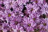 picture of rare flowers  - Rare autumn striped pink chrysanthemums flowers background - JPG