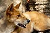 pic of zoo  - A detail of dingo in the zoo