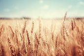 image of fall day  - wheat field and sunny day - JPG