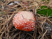 picture of pine-needle  - amanita autumn forest under pine needles  and pine cone - JPG