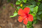 picture of hibiscus flower  - Shoe Flower Chinese Rose or Hibiscus flowers on the branch was taken in nature. ** Note: Shallow depth of field - JPG