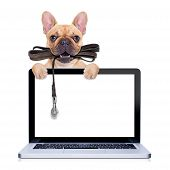 stock photo of dog-walker  - fawn french bulldog with leather leash ready for a walk with ownerbehind a laptop pc computer screen isolated on white isolated background - JPG