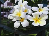image of frangipani  - Blooming Frangipani Flowers on a Side of Fence