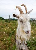 image of pygmy goat  - The goat attacks the stranger on the farm - JPG