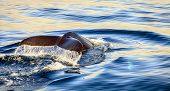 picture of whale-tail  - Diving humpback whale in the Skjalfandi Bay in Northern Iceland - JPG