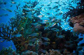 foto of sweeper  - Shoal of Glassfish  - JPG