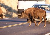 stock photo of lamar  - Yearling American Bison obstructs traffic by crossing road in Yellowstone National Park - JPG