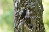 image of hollow  - Starling and his hungry nestling in a hollow - JPG