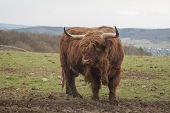 picture of highland-cattle  - It is image of unique highland cattle - JPG