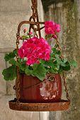 image of geranium  - Pink geranium plant on a vintage rusty scales - JPG