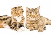 pic of scottish-fold  - Portrait of Scottish Fold and Scottish Straight cats lying together closeup isolated on white background - JPG