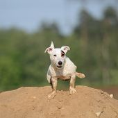 picture of jack russell terrier  - Jack Russel Terrier Dog pees on the sand hill - JPG