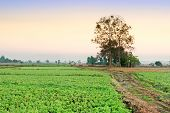 foto of soybeans  - soybean field with rows of soya bean plants