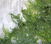 image of creeper  - The Green Creeper Plant on the Wall  - JPG
