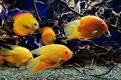 foto of freshwater fish  - Tropical freshwater fishes of Venezuela and Paraguay - JPG