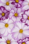 pic of cosmos flowers  - Studio Shot of Fuchsia and White Colored Cosmos Flowers Background - JPG