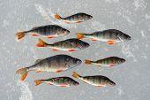 stock photo of ice fishing  - Perch fish on the ice - JPG