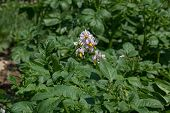 picture of solanum tuberosum  - Potato plant blooming in the garden - JPG