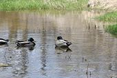 stock photo of male mallard  - A small grouping of male Mallard ducks in a calm area of a small stream - JPG