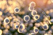 stock photo of marsh grass  - Blooming cotton grass on a background of a colorful sunset - JPG
