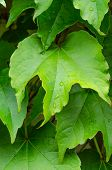 foto of ivy  - picture of the Boston ivy leaves perfectly covering wall - JPG