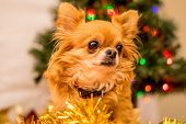 picture of long hair dachshund  - Long Haired Chihuahua at Christmas in front of tree with lights. ** Note: Soft Focus at 100%, best at smaller sizes - JPG