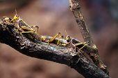 foto of locust  - Migratory locust  - JPG