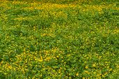 picture of buttercup  - Spring floral natural background with yellow flowers buttercups growing in the meadow on a sunny day - JPG