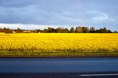 stock photo of rape  - rape field in the beginning of summer - JPG